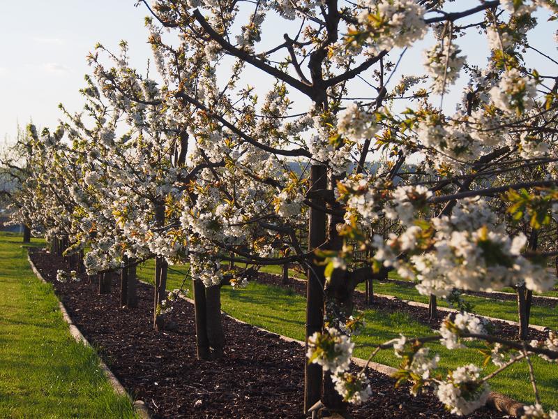 Blühende Kirschenspindeln
