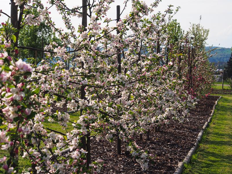 Blühende Apfelspindeln