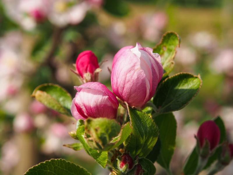 Apfel Vorblüte