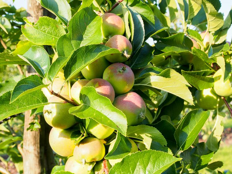 Fruchtbehang Apfel Merkur
