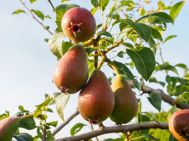 Fruchtbehang Birne Isolda