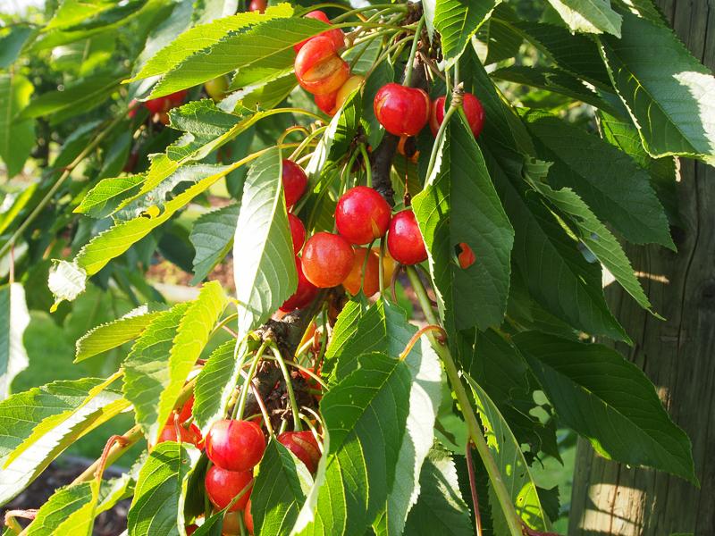 Fruchtbehang Kurt-Krapf-Kirsche