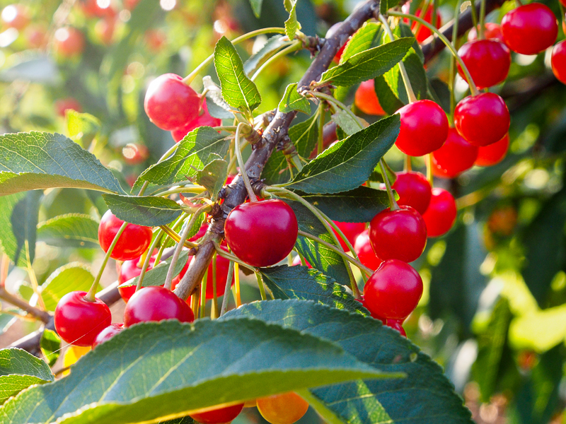 Fruchtbehang Sauerkirsche Morina