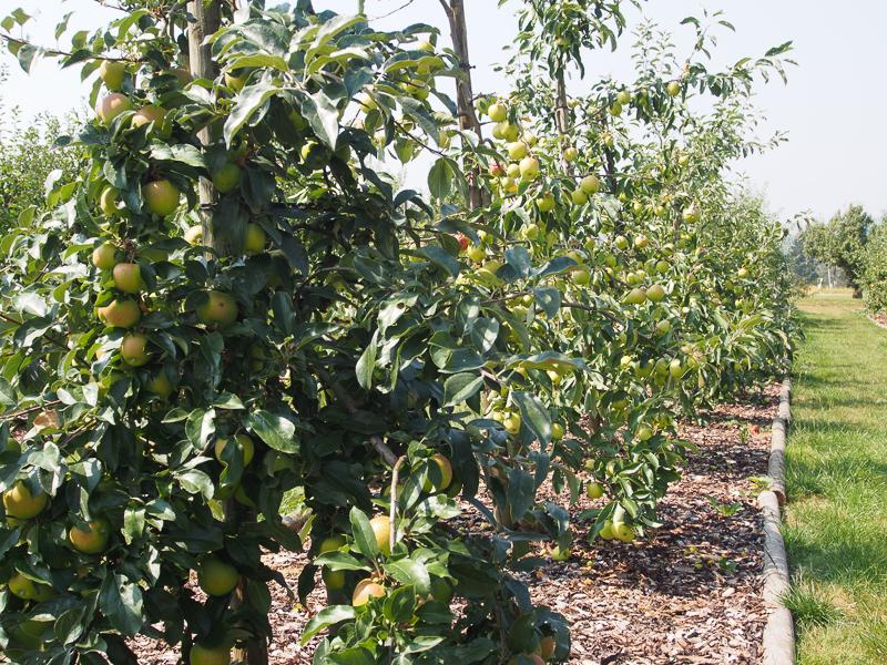 Fruchtbehang Äpfel