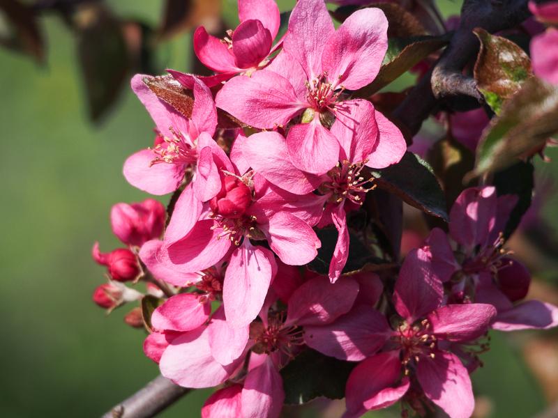 Apfelblüte Baya Marisa