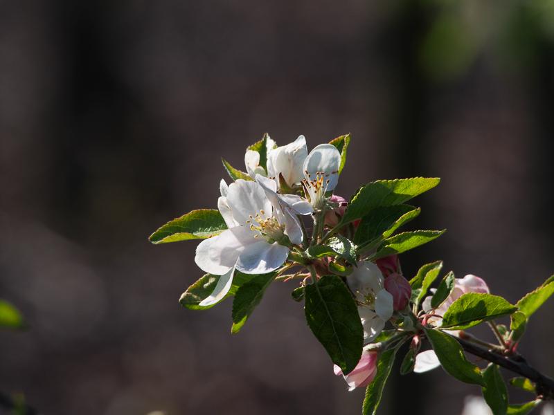 Apfelblüte Nela