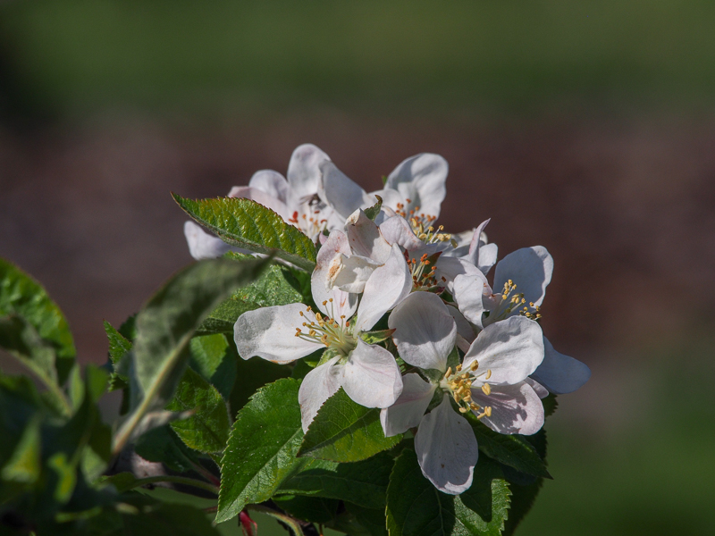 Apfelblüte Topaz rot