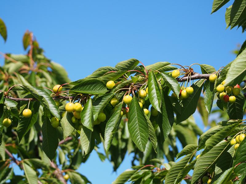 Fruchtbehang Kirsche Sunburst