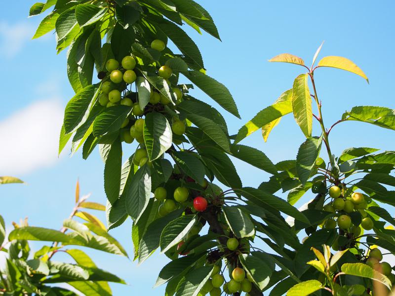 Fruchtbehang Kirsche Sylvia