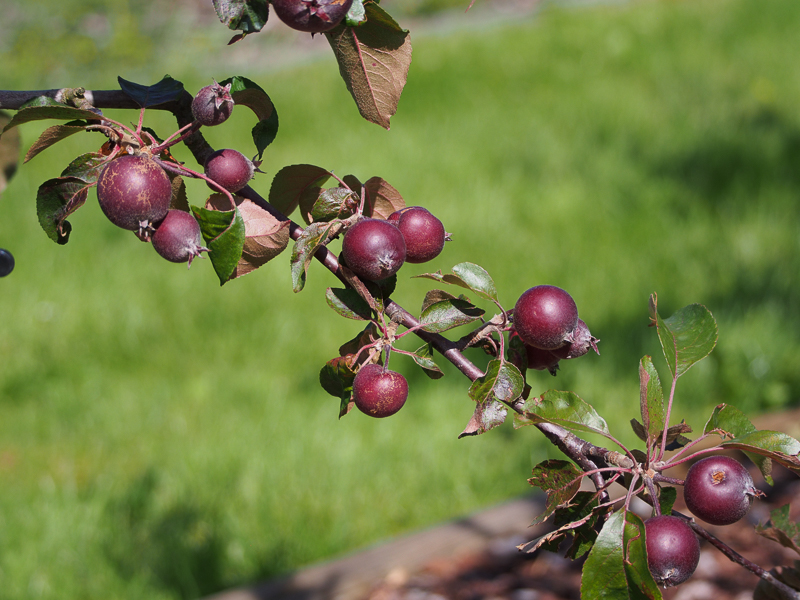 Fruchtbehang Apfel Baya Marisa