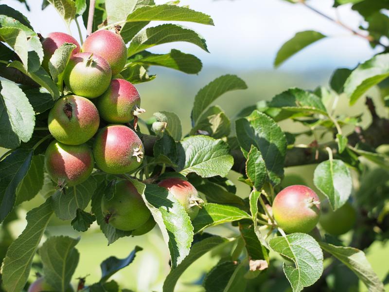 Fruchtbehang Apfel Alkmene
