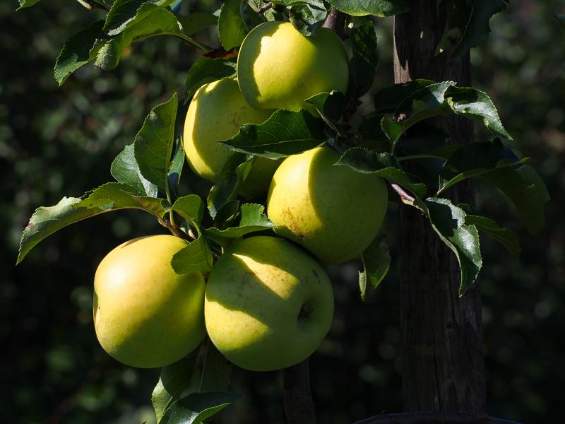 Apfel Sirius