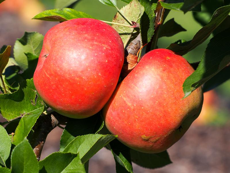 Apfel Topaz rot