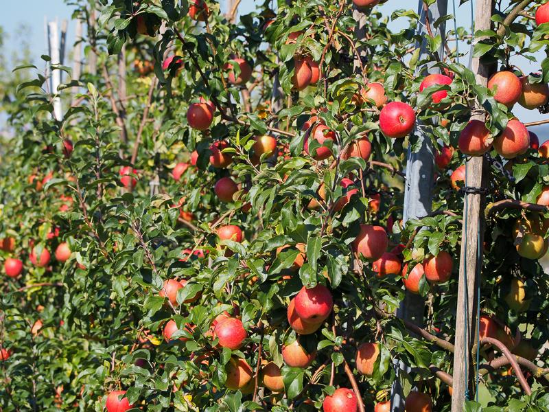 Apfelspalier Rewena