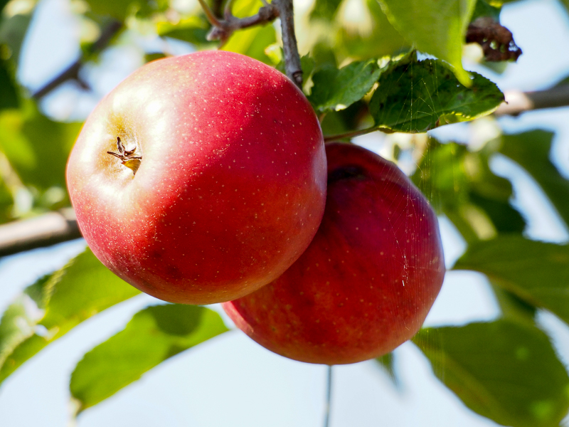 Apfel Red Prince
