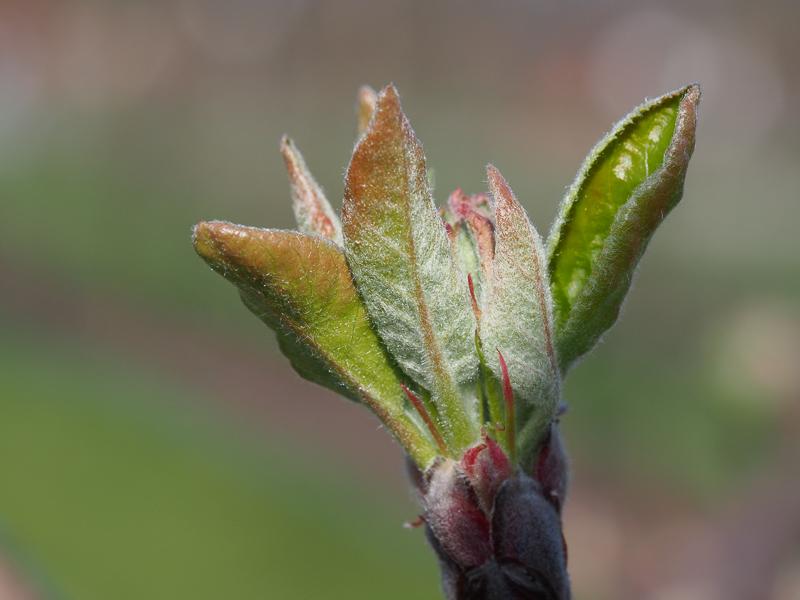 Mausohrstadium Blütenansatz Apfel Nela