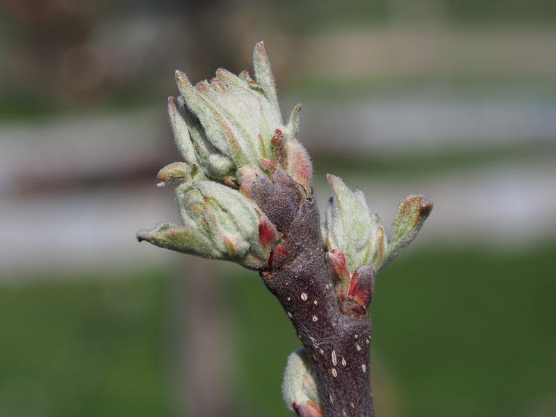 Mausohrstadium Blütenansatz Apfel Regia