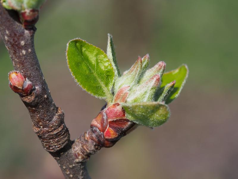 Mausohrstadium Blütenansatz Apfel Rebella