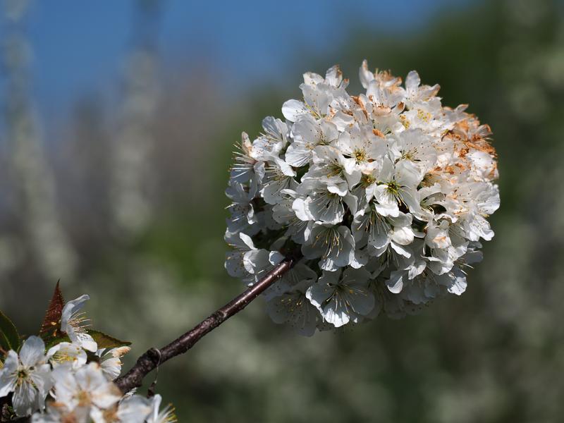 Kirschblüte Büttners Rote