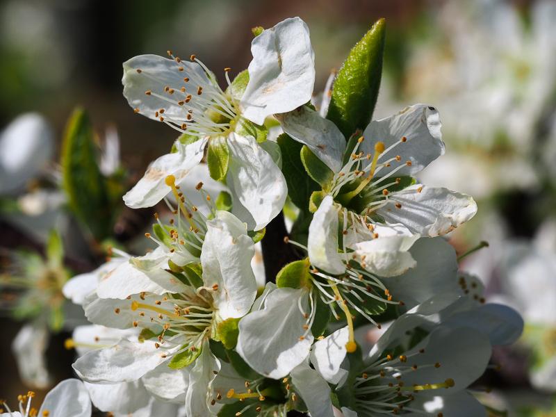 Zwetschgenblüte Herman
