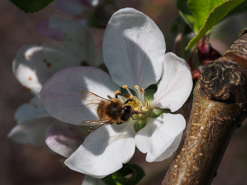 Blüte Apfel Nela