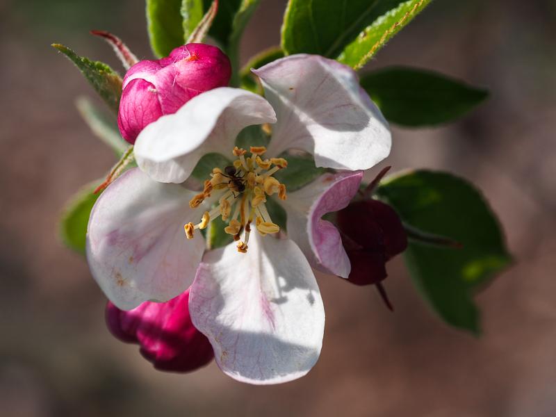 Apfelblüte Karneval