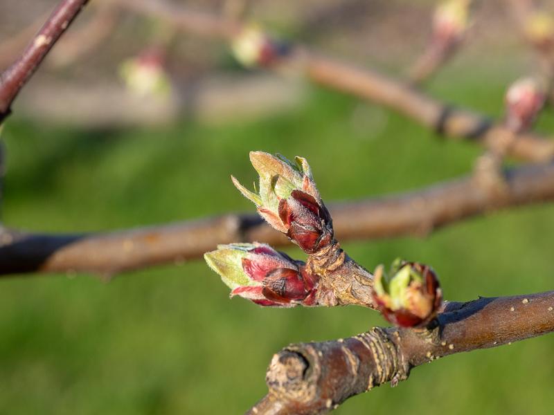 Blütenansatz Apfel Nela