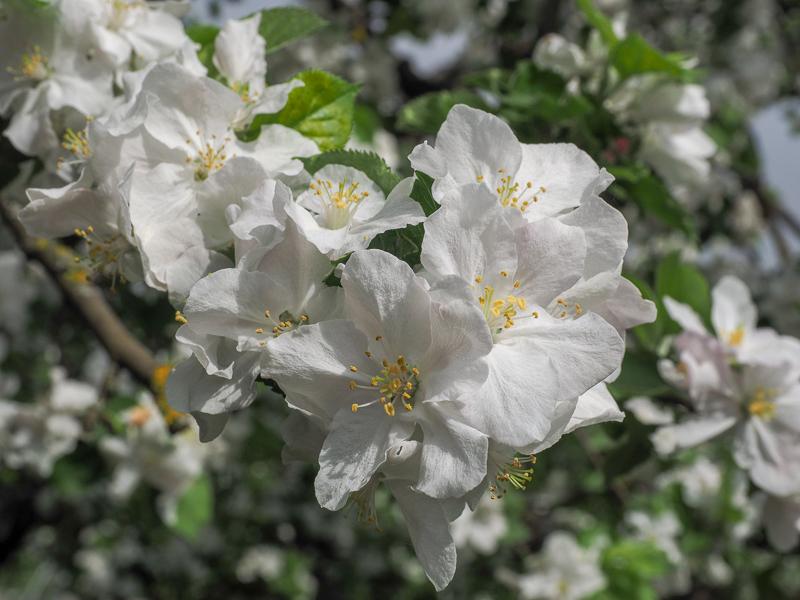 Blüte Apfel Roter Boskoop