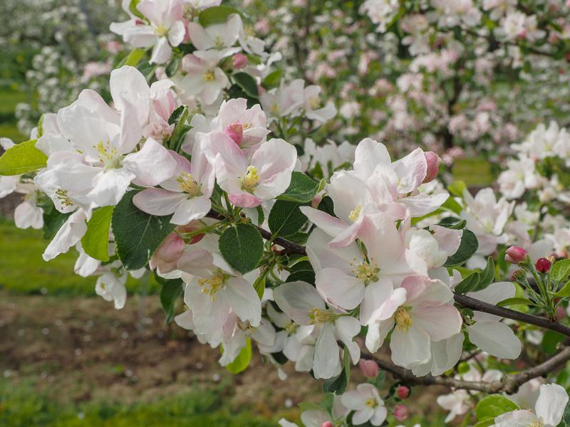 Blüte Apfel Rebella
