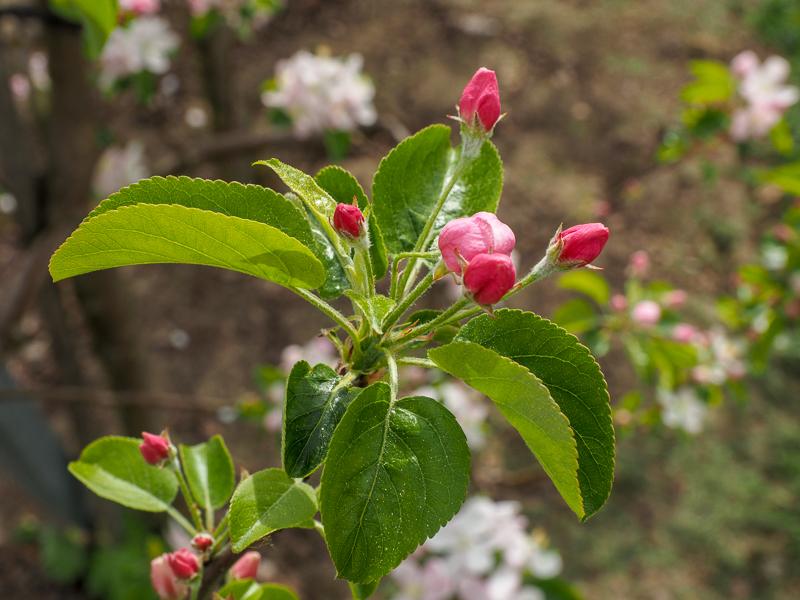 Blüte Apfel Rewena