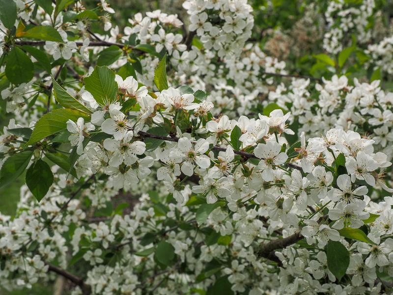 Blüte Sauerkirsche Karneol