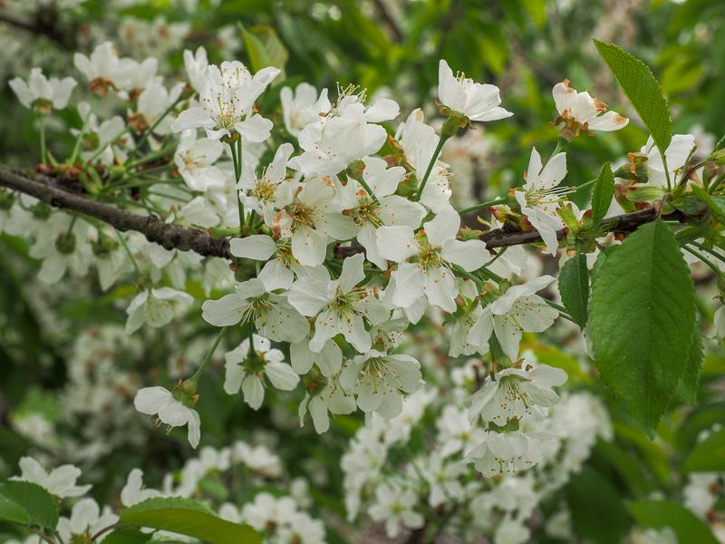 Blüte Süßkirsche Oktavia