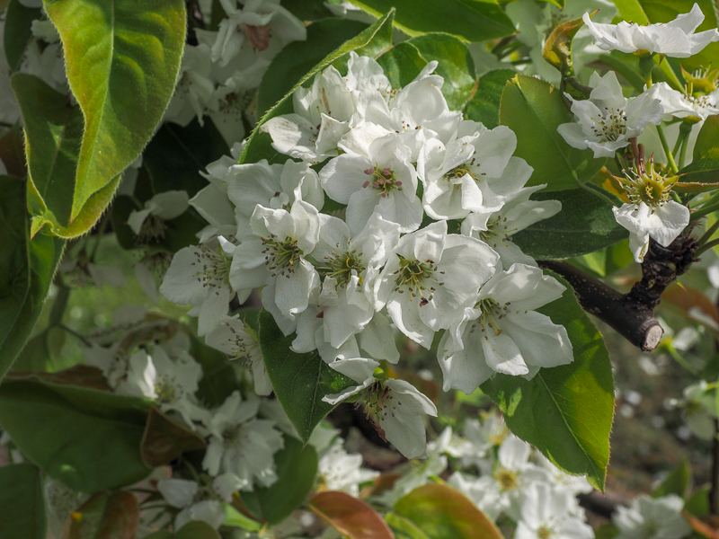 Blüte Birne Nashi Hosui