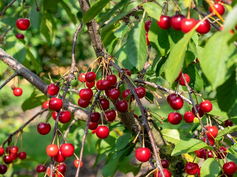 Fruchtbehang Sauerkirsche Saphir