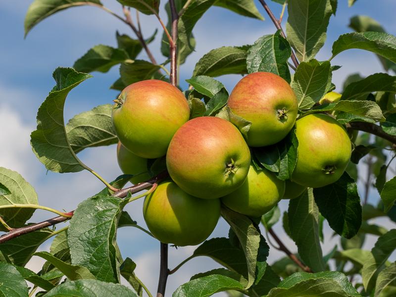 Fruchtbehang Apfel Nela