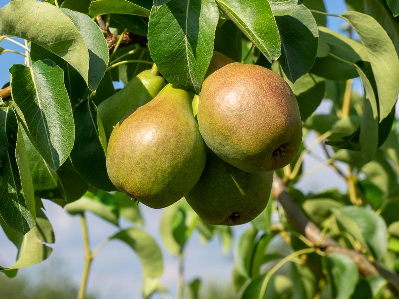 Fruchtbehang Birne Novembra