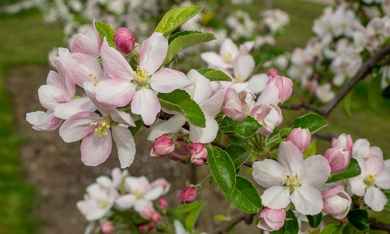 Apfelblüte Rebella
