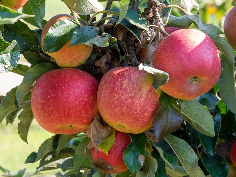 Fruchtbehang Apfel Mairac