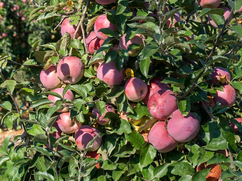 Fruchtbehang Apfel Fuji