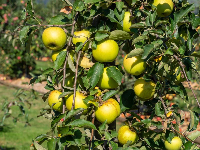 Fruchtbehang Apfel Sirius