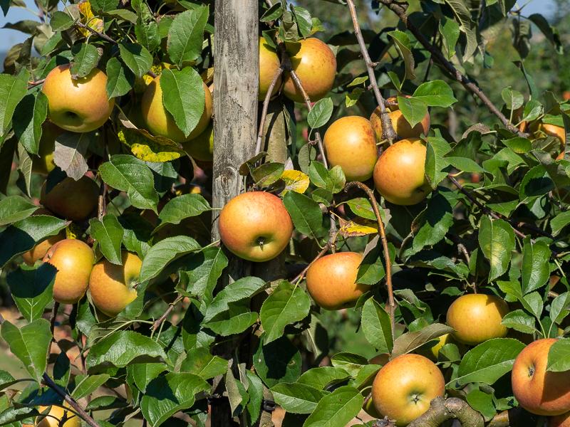 Fruchtbehang Apfel Topaz rot