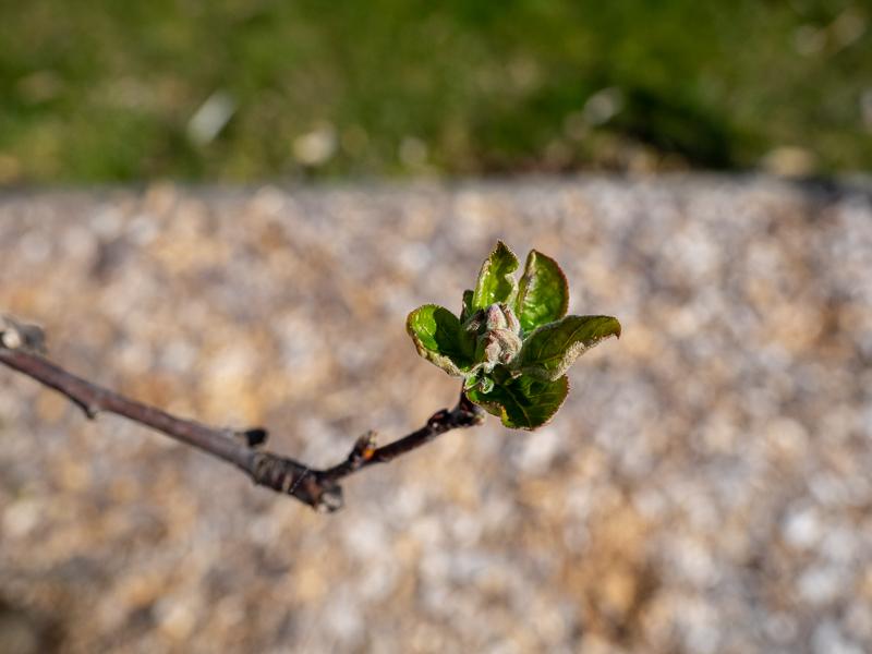 Mausohrstadium Apfel Sirius