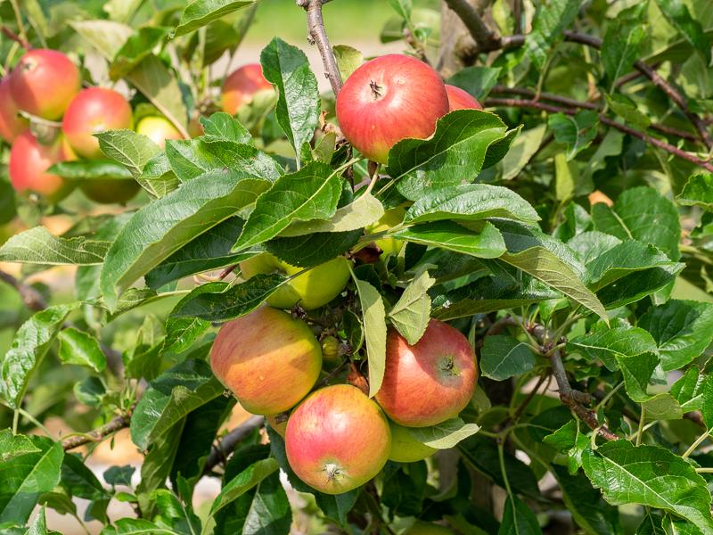 Fruchtbehang Apfel Galmac
