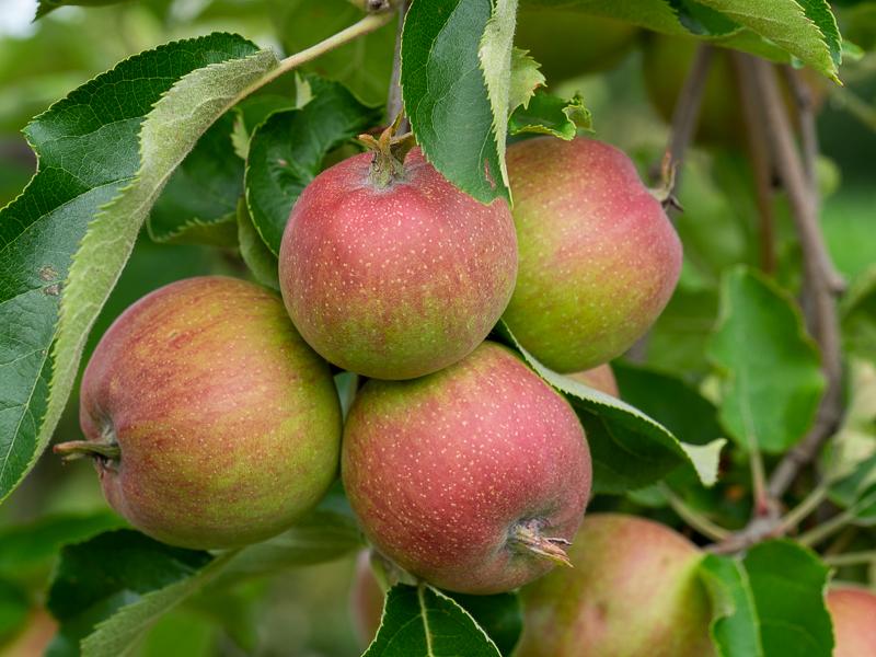 Fruchtbehang Apfel Red Prince