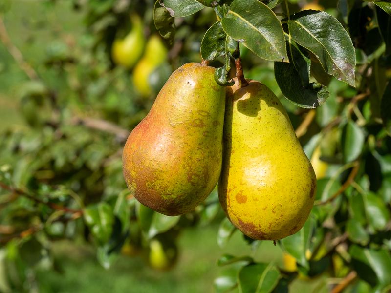 Fruchtbehang Birne Harrow Sweet