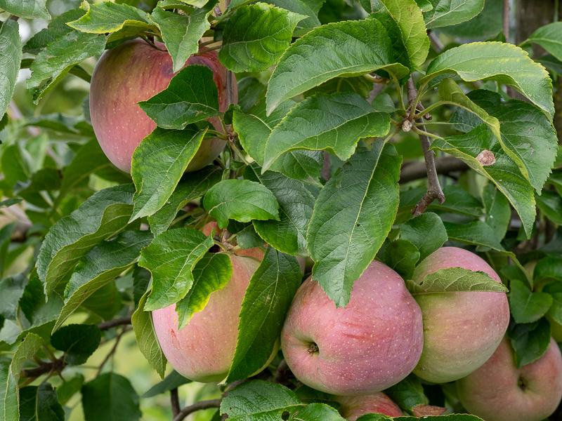 Fruchtbehang Apfel Florina