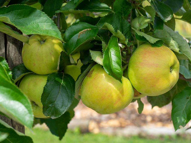 Fruchtbehang Apfel Jonagold