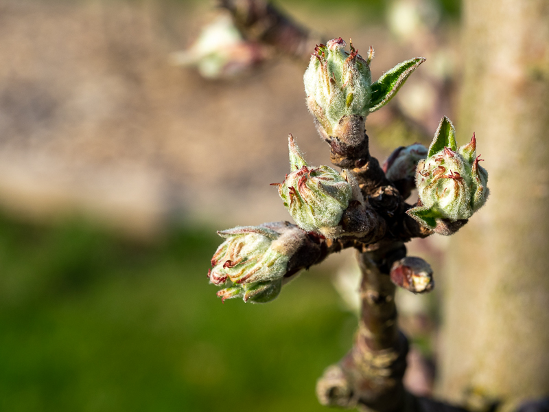 Blütenansatz Apfel Regia