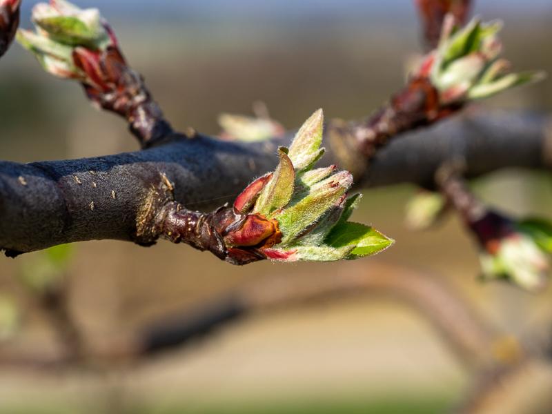 Blütenansatz Apfel Topaz rot