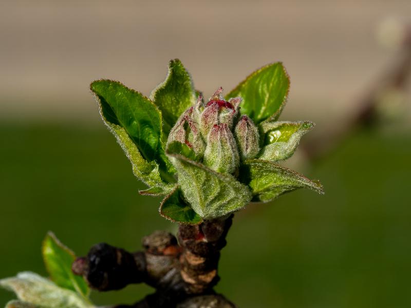 Blütenansatz Apfel Alkmene